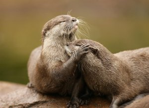 river-otters-couple-1